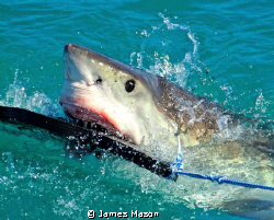 Great White Shark takes seal decoy. by James Mason
